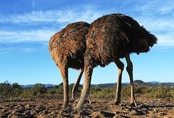 Ostriches on their first date