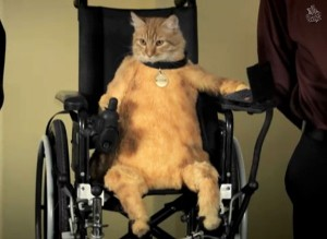 wheelchair-cat