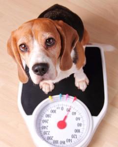 beagle-scale